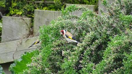 European goldfinch by Oscarr-334