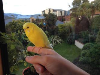 My budgerigar Buttercup by Oscarr-334