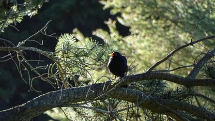 Common blackbird (male) by Oscarr-334