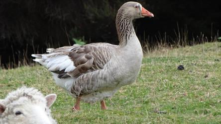 Greylag goose by Oscarr-334