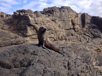 New Zealand fur seal/Kekeno by Oscarr-334