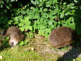 hedgehogs 2 by BillMorisson