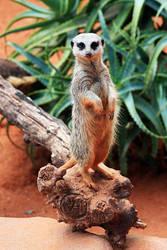Meerkat by CrAzYmOnKeY