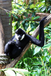 Black Gibbon by CrAzYmOnKeY