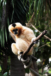White Gibbon by CrAzYmOnKeY