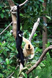 Gibbon Pair by CrAzYmOnKeY