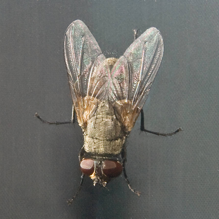 The Fly 2008 by morpe