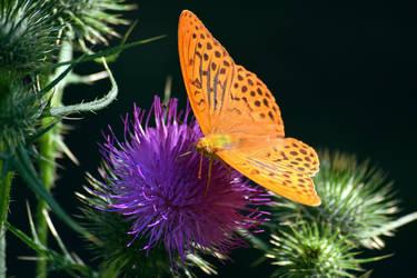 La fleur et le papillon by DavidMnr
