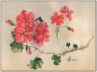 red geranium by kosharik69