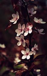Cherry Blossom by hakukamizaki