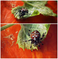 Pumpkin Spider by hakukamizaki