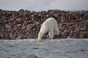Too cold for a polar bear by XNikonD5000