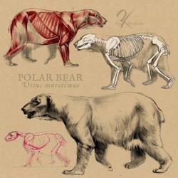 Polar Bear Anatomy by oxpecker