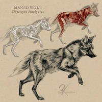Maned Wolf Anatomy by oxpecker