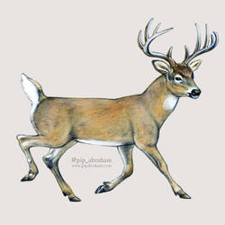 DrawDeercember day 4: White-tailed deer by oxpecker