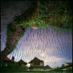 rice fields by Lenk-A