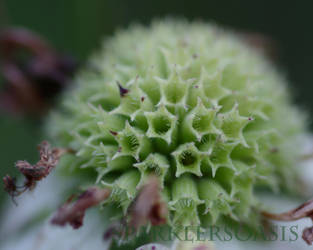 Mountain mint by SparklersOasis