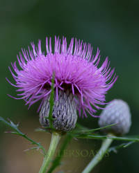 Thistle bloom by SparklersOasis