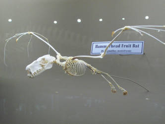 Hammerhead Fruit Bat by Xenothere