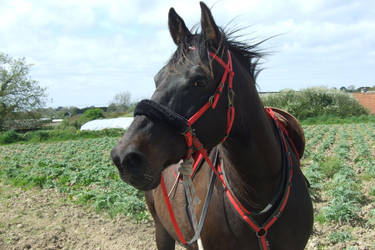 Oreste Horse by CelticWarBoy