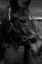 Equus caballus by Fotodel