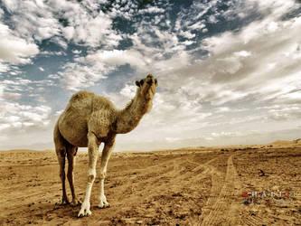 camel by Al-Shamary