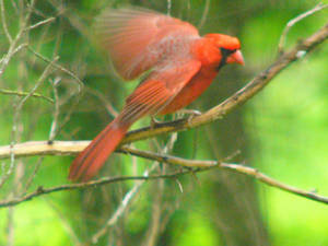 070126_CardinalTakingOff by NemoNameless