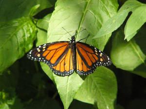 Monarch Butterfly 6 by NemoNameless