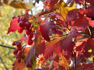 HighBushCranberry P1150100 by NemoNameless