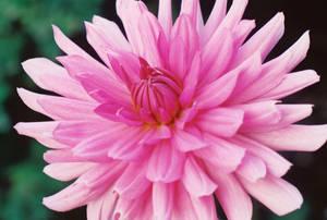 00000106_FloweringDahlia by NemoNameless