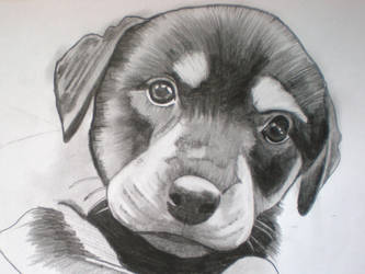 dog,,done in pencil by steve1968