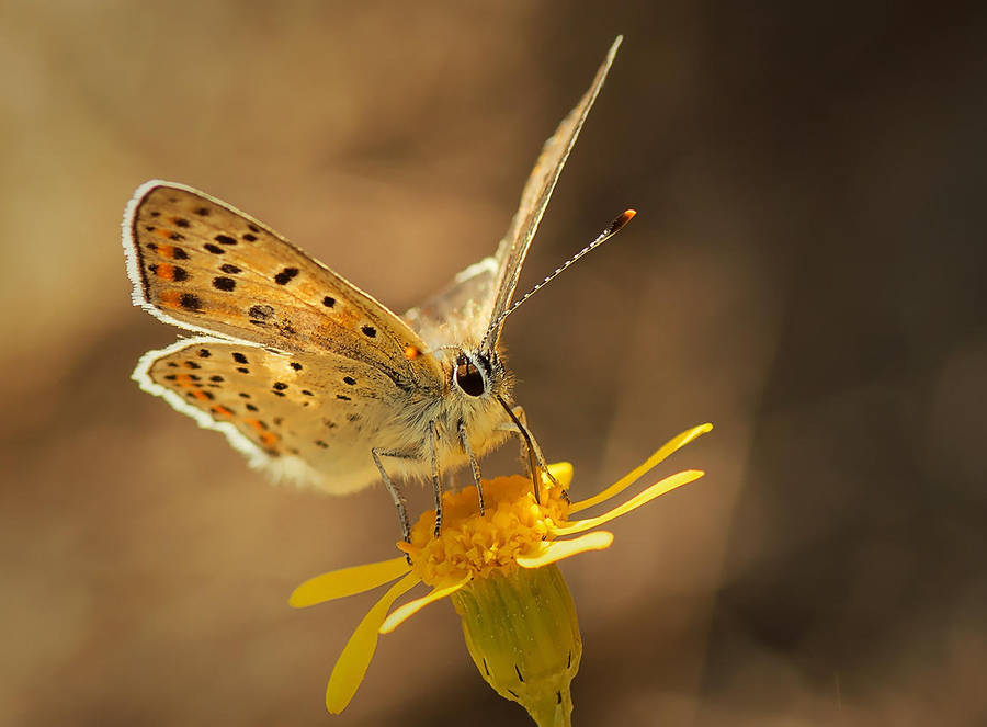 Small Copper by BiBiARTs