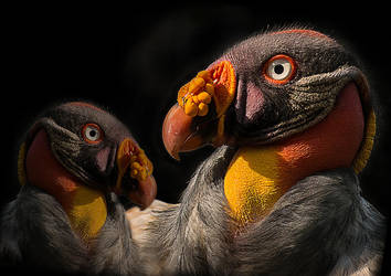 Two in One - King vulture by BiBiARTs