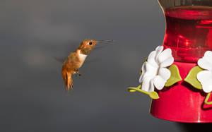 Hummingbird in flight by IntermissionNexus
