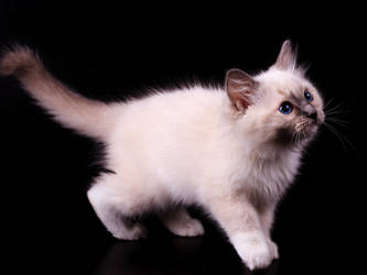 Ragdoll kitten by Gwynbleid
