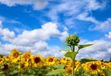 Sunflower Power by Exornali