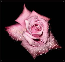 Rosa by blackcat