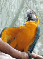Blue-and-Gold Macaw by puka23
