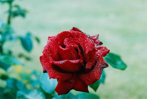 Wet Rose I by Photopathica