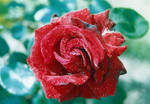 Wet Rose II by Photopathica