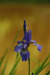 Iris II by Photopathica