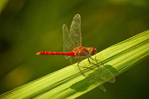 Dragonfly II by lordradi