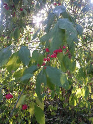 red berries by xXBeauty-Of-NatureXx