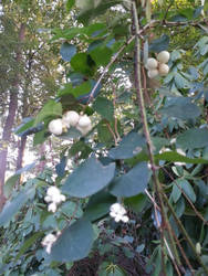 white berries by xXBeauty-Of-NatureXx