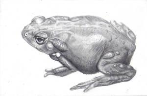 Colorado River Toad 1 by samshank0453