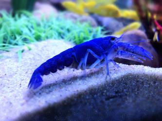 Blue Lobster by AnonymousRabbitLover