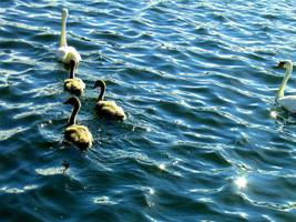 Swedish swans by livingdoll