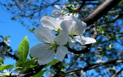 Apple-tree blossom Wallpaper by WampiruS