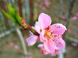 Apple-tree blossom by Randal01