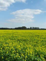 The yellow field by Stilleschrei